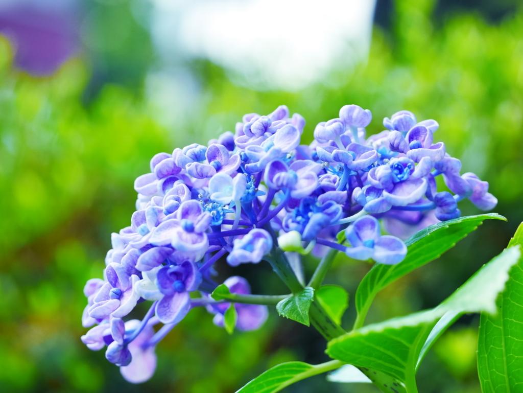 LEICA MACRO 45mm   作例   ポップコーン紫陽花   まとめ記事