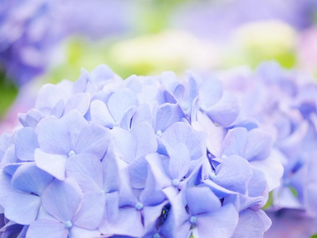 紫陽花, ハイキー, LUMIX G8, LEICA DG MACRO-ELMARITE 45mm/F2.8
