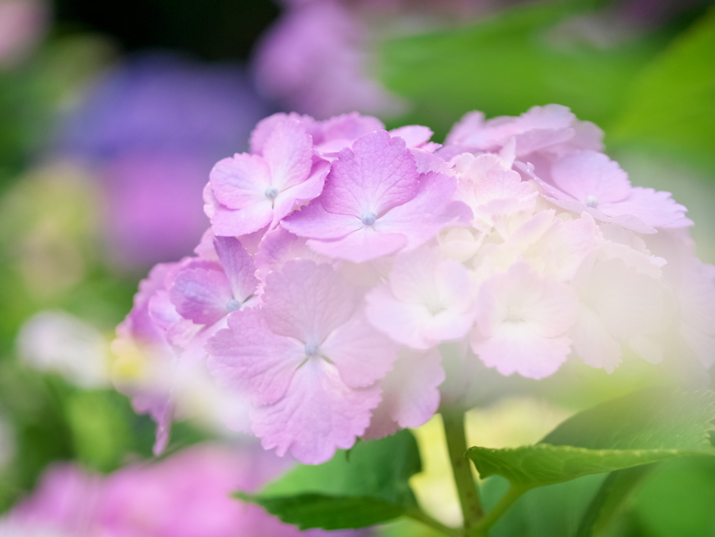 LEICA 45mm 作例 紫陽花