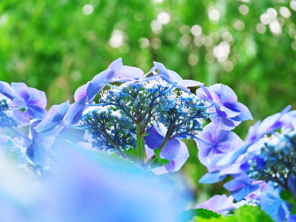 LUMIX 12-60mm   作例   見上げる紫陽花