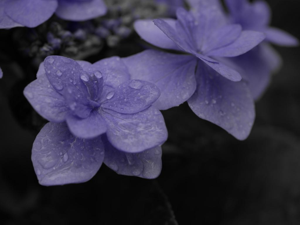 LEICA 45mm MACRO   作例   紫陽花 花弁   ワンポイントカラー