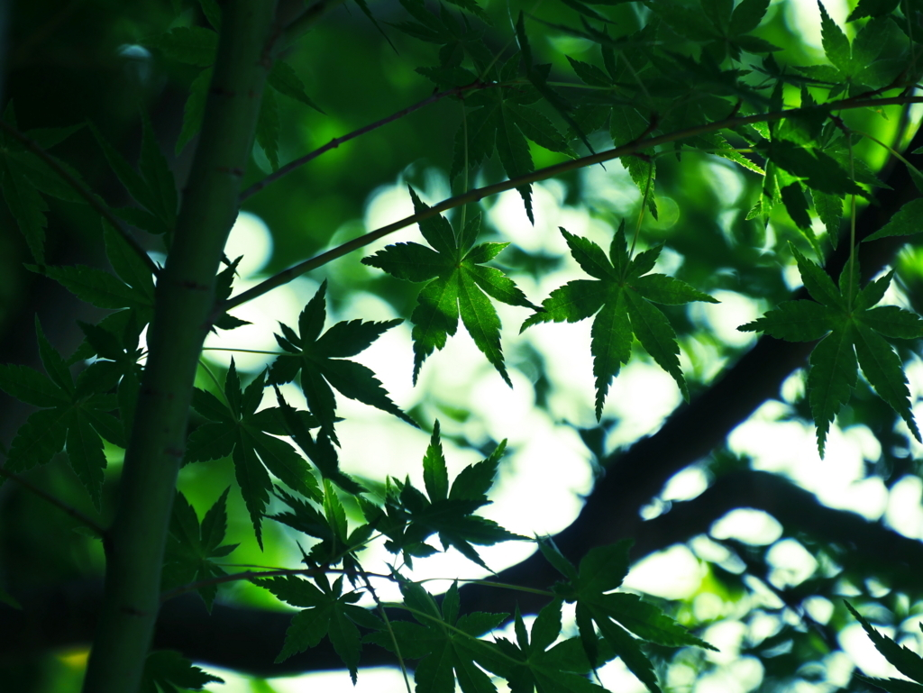 LUMIX 14-140mm | 作例 | 夏の楓を木陰にて