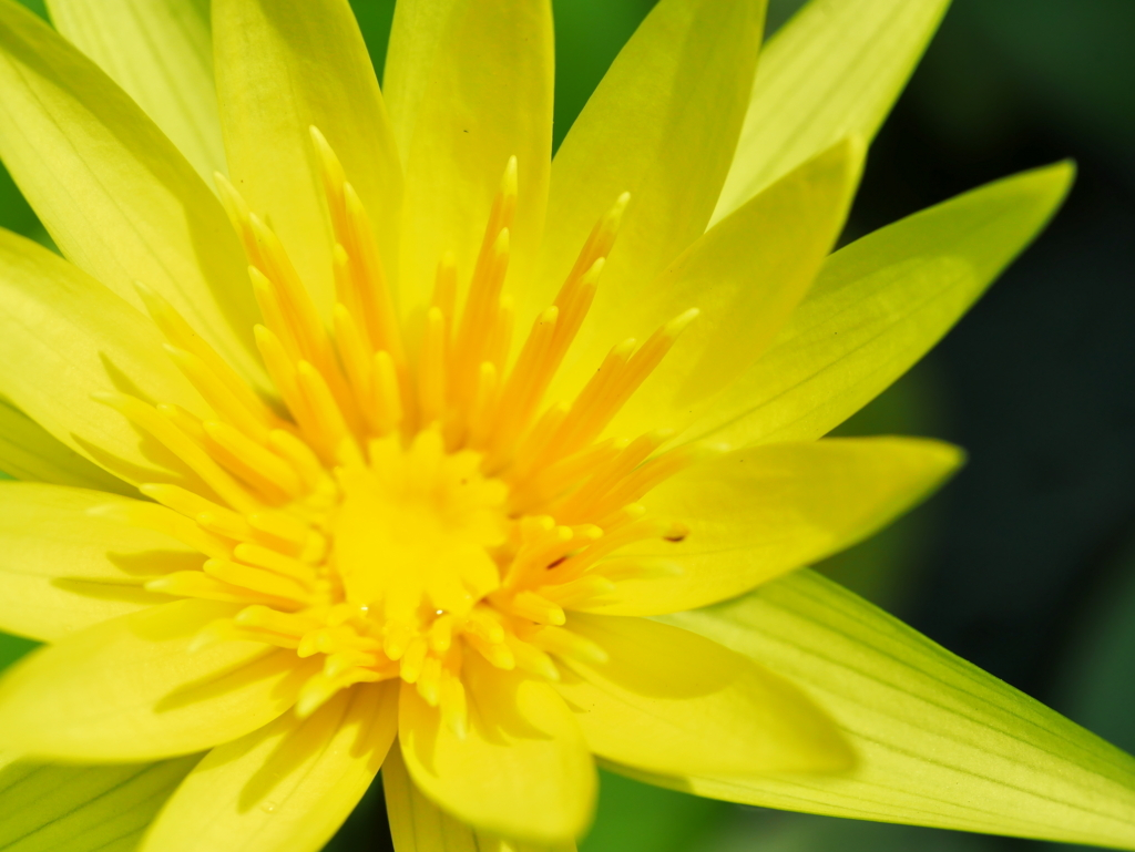 LEICA MACRO 45mm | 作例 | 金色の花2