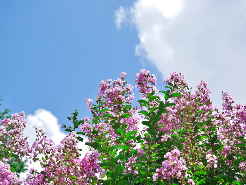 LEICA MACRO 45mm | 作例 | 夏空と百日紅(ピンク)