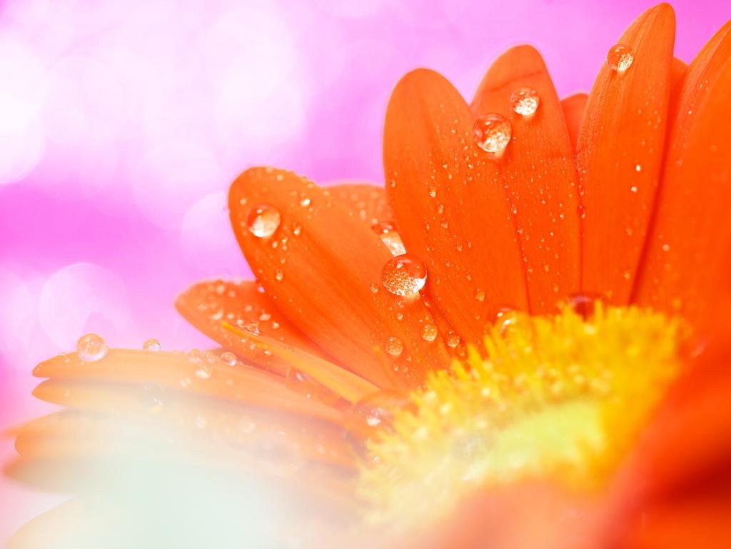 LEICA DG MACRO 45mm | 作例 | ガーベラとピンク色の輝き
