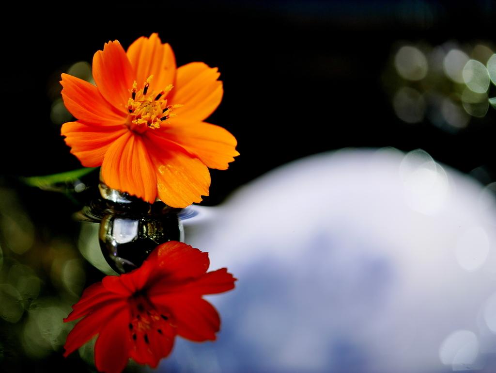 LEICA DG MACRO 45mm | 作例 | 秋桜と満月