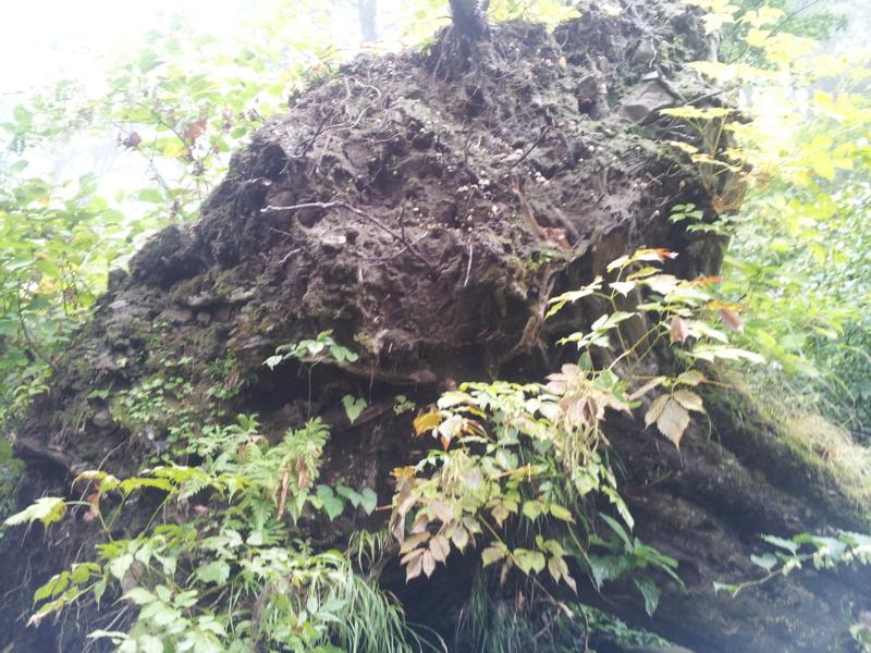 登山7・旧き時代の大樹
