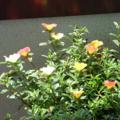 [Flower]ポーチュラカ