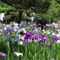 [Flower]花菖蒲
