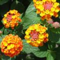 [Flower]ランタナ
