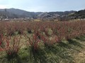 滝桜、花見山