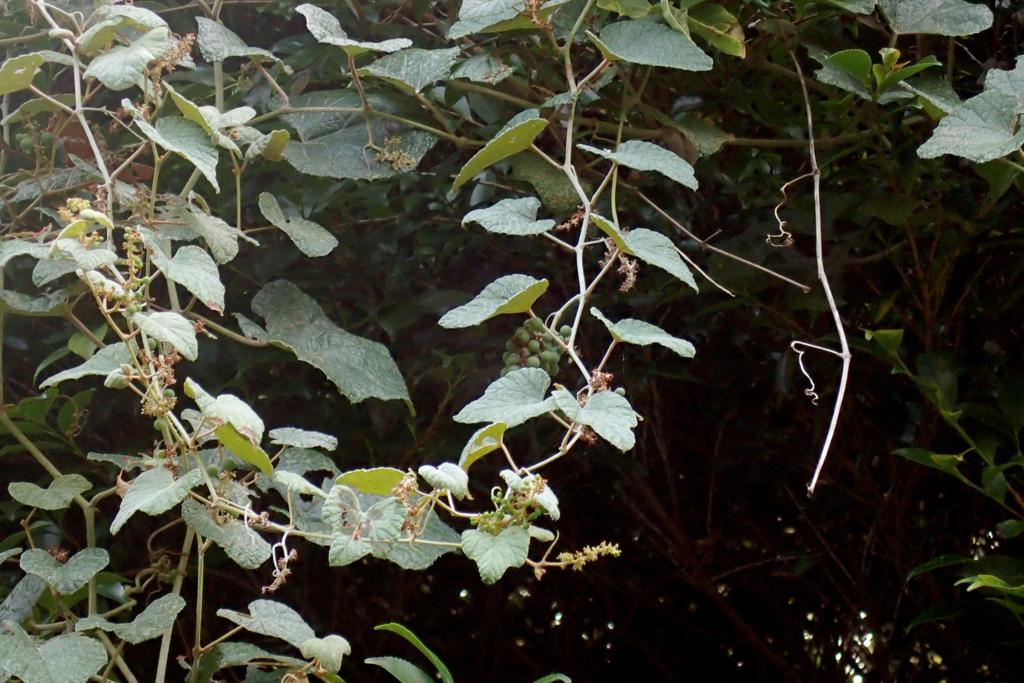 f:id:Rubus_hirsutus:20160826181406j:plain
