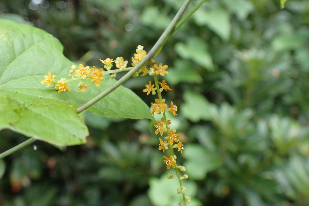 f:id:Rubus_hirsutus:20160826181416j:plain