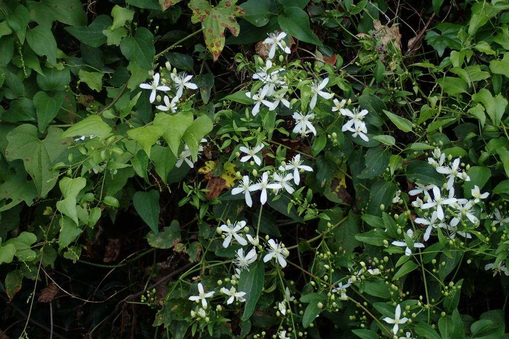 f:id:Rubus_hirsutus:20160826181432j:plain