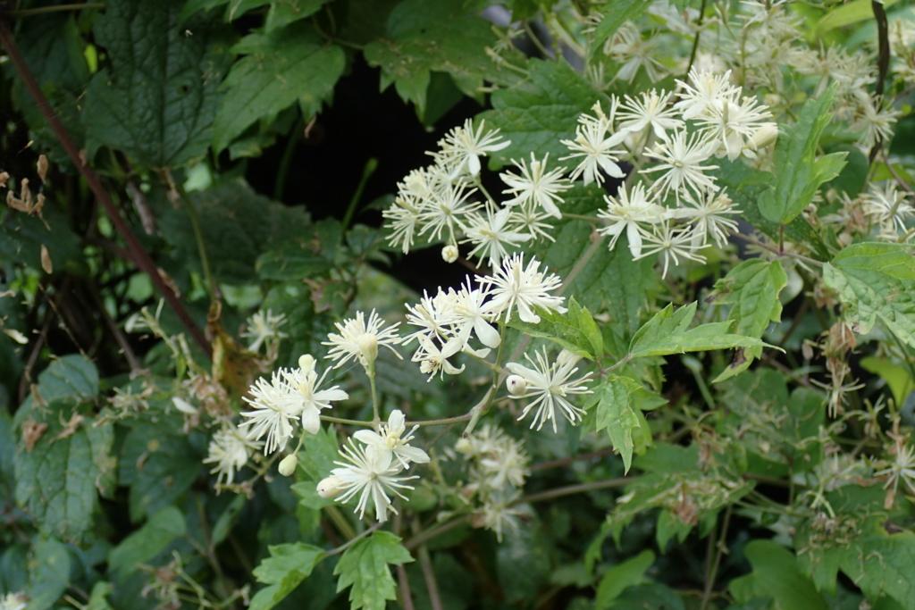 f:id:Rubus_hirsutus:20160826181454j:plain