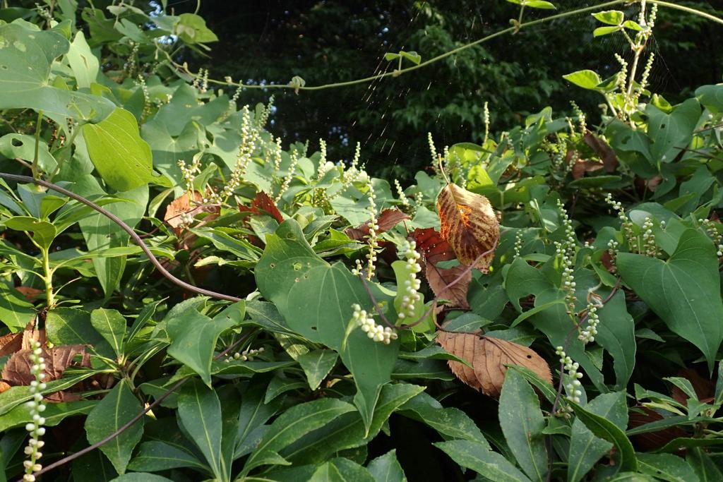 f:id:Rubus_hirsutus:20160826181500j:plain