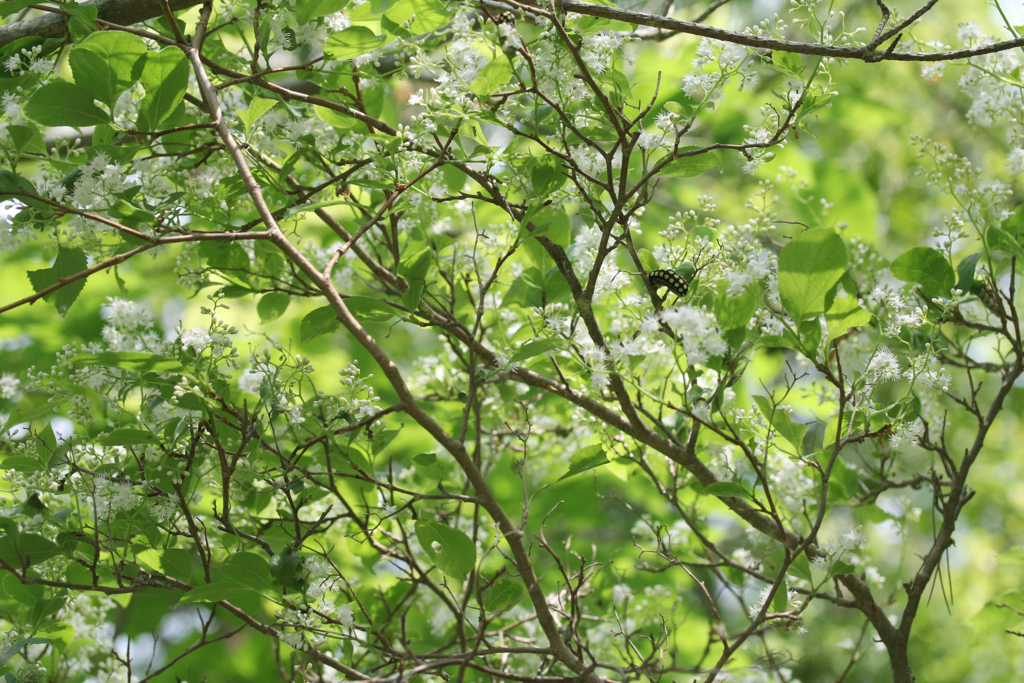 f:id:Rubus_hirsutus:20170521213922j:plain