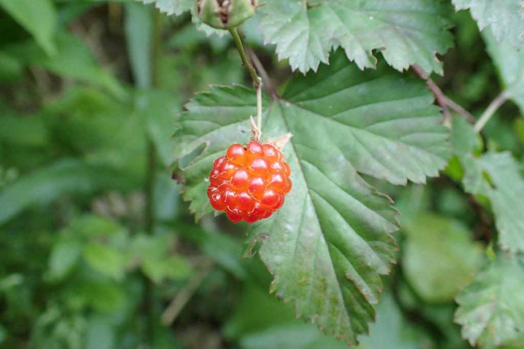 f:id:Rubus_hirsutus:20170610002100j:plain