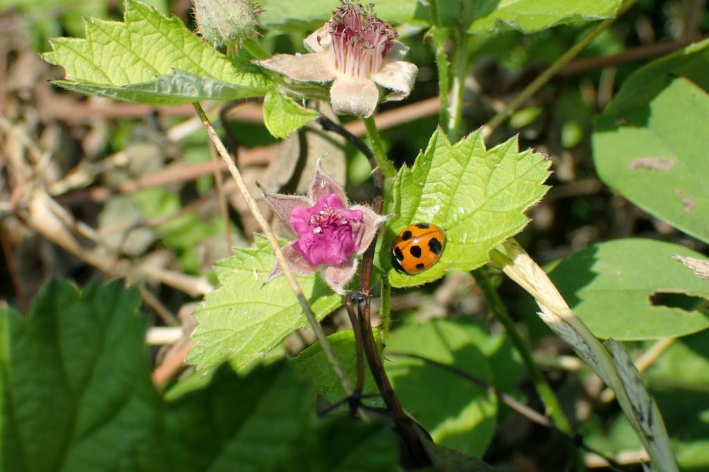 f:id:Rubus_hirsutus:20170610002222j:plain