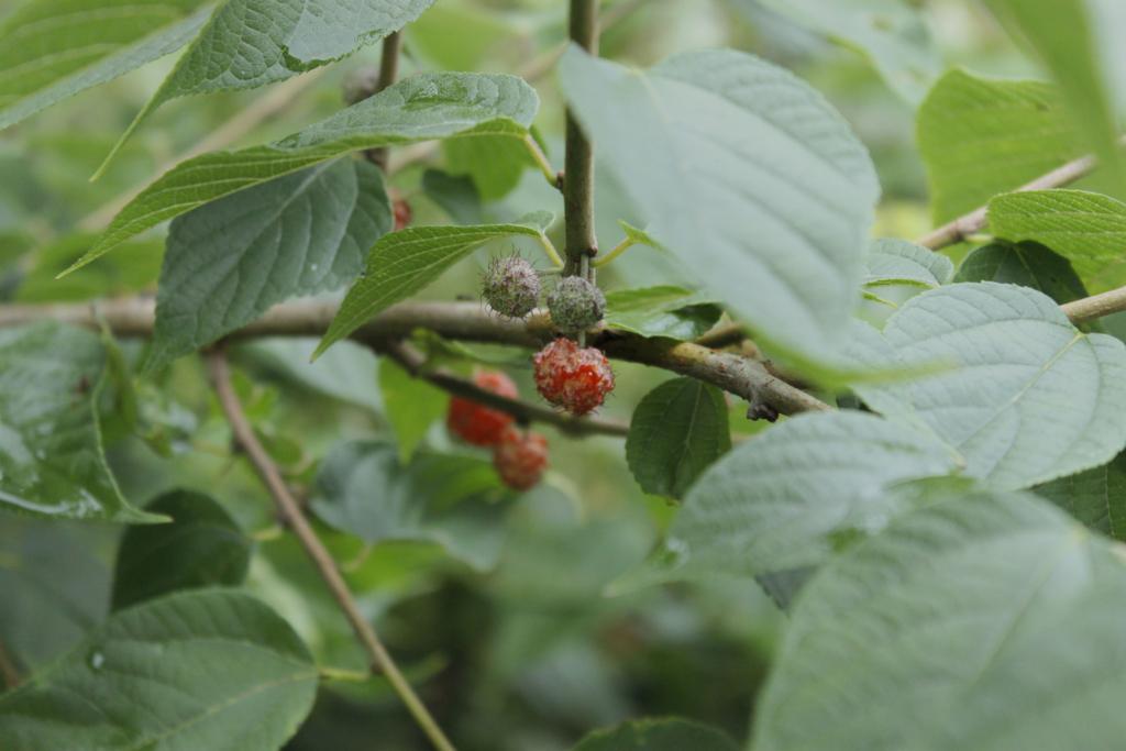 f:id:Rubus_hirsutus:20170629215545j:plain