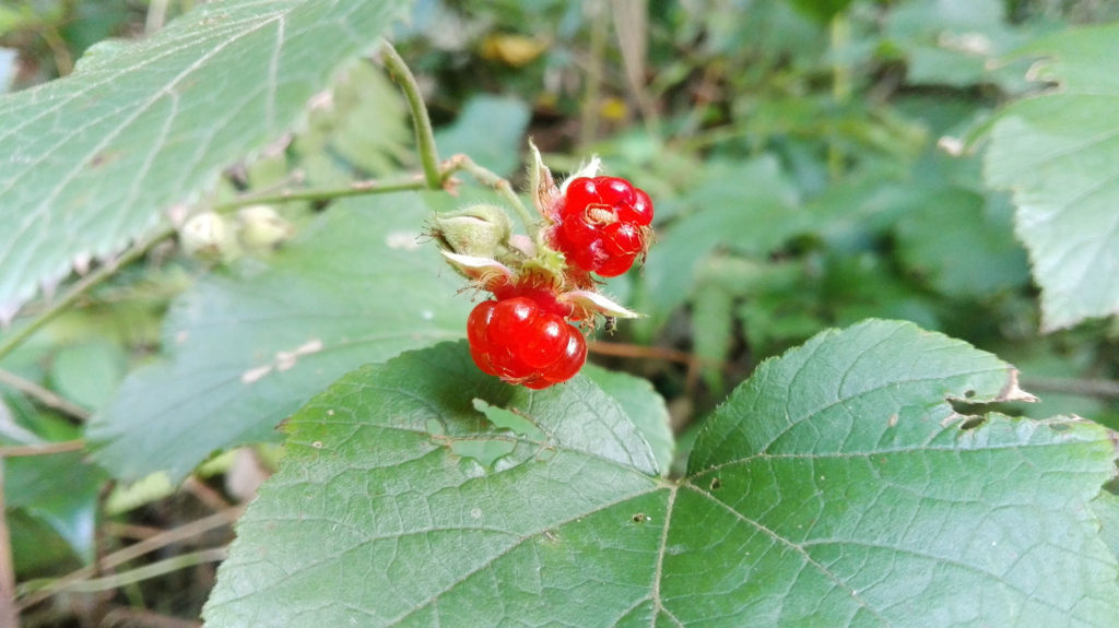 f:id:Rubus_hirsutus:20171101102115j:plain