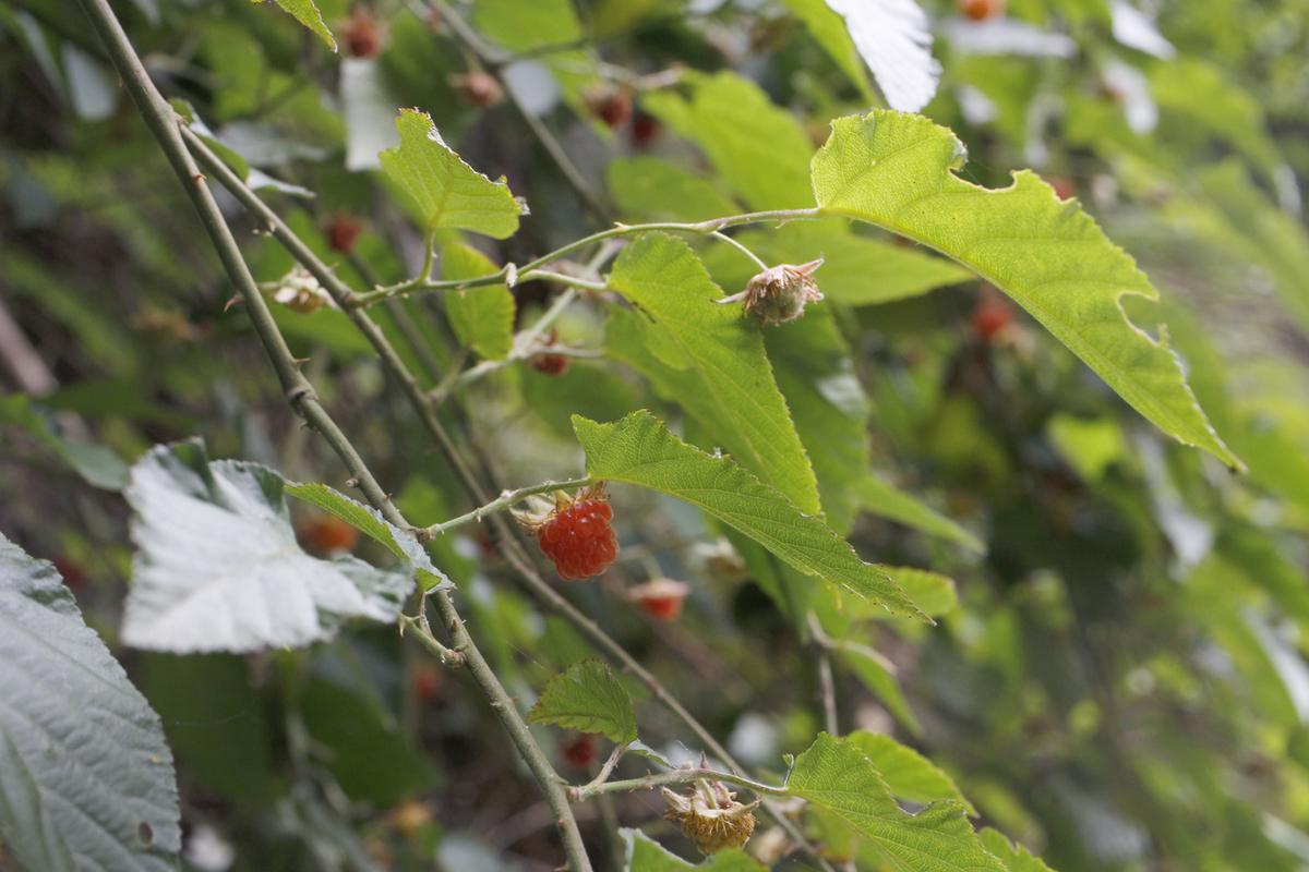 f:id:Rubus_hirsutus:20190531003441j:plain