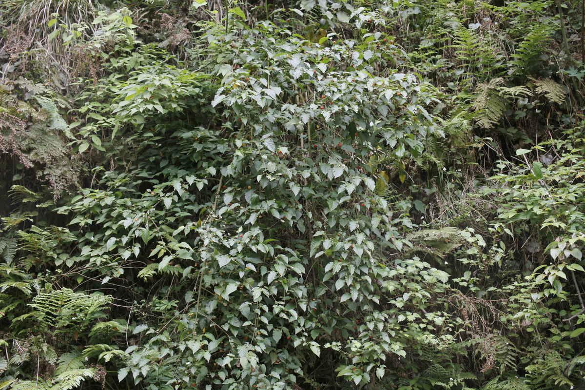 f:id:Rubus_hirsutus:20190531003506j:plain