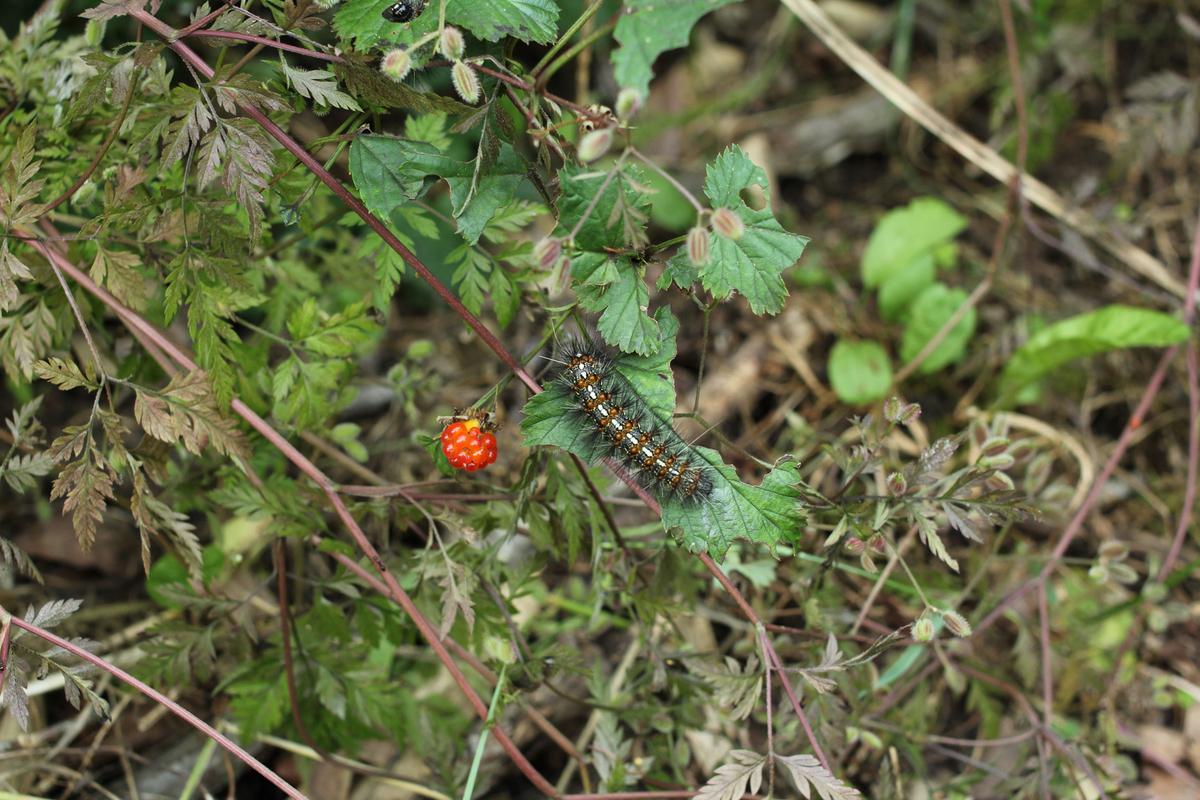 f:id:Rubus_hirsutus:20190606231444j:plain