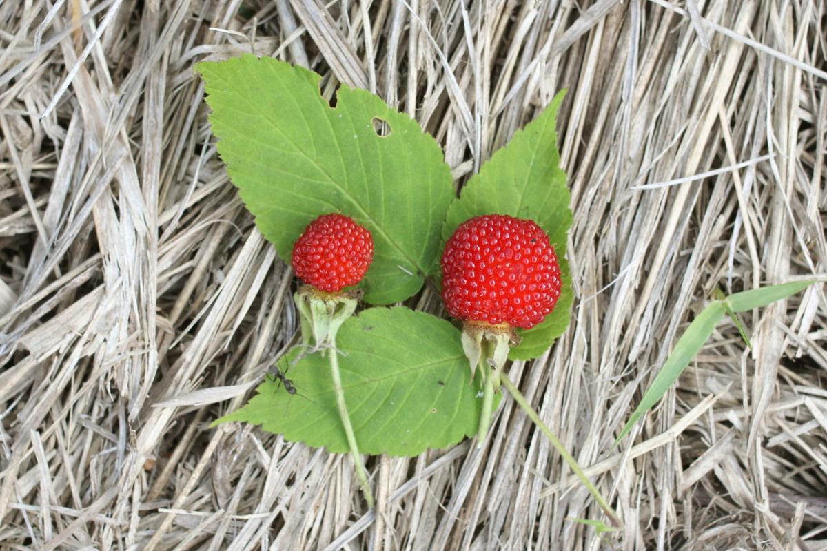 f:id:Rubus_hirsutus:20190606231919j:plain