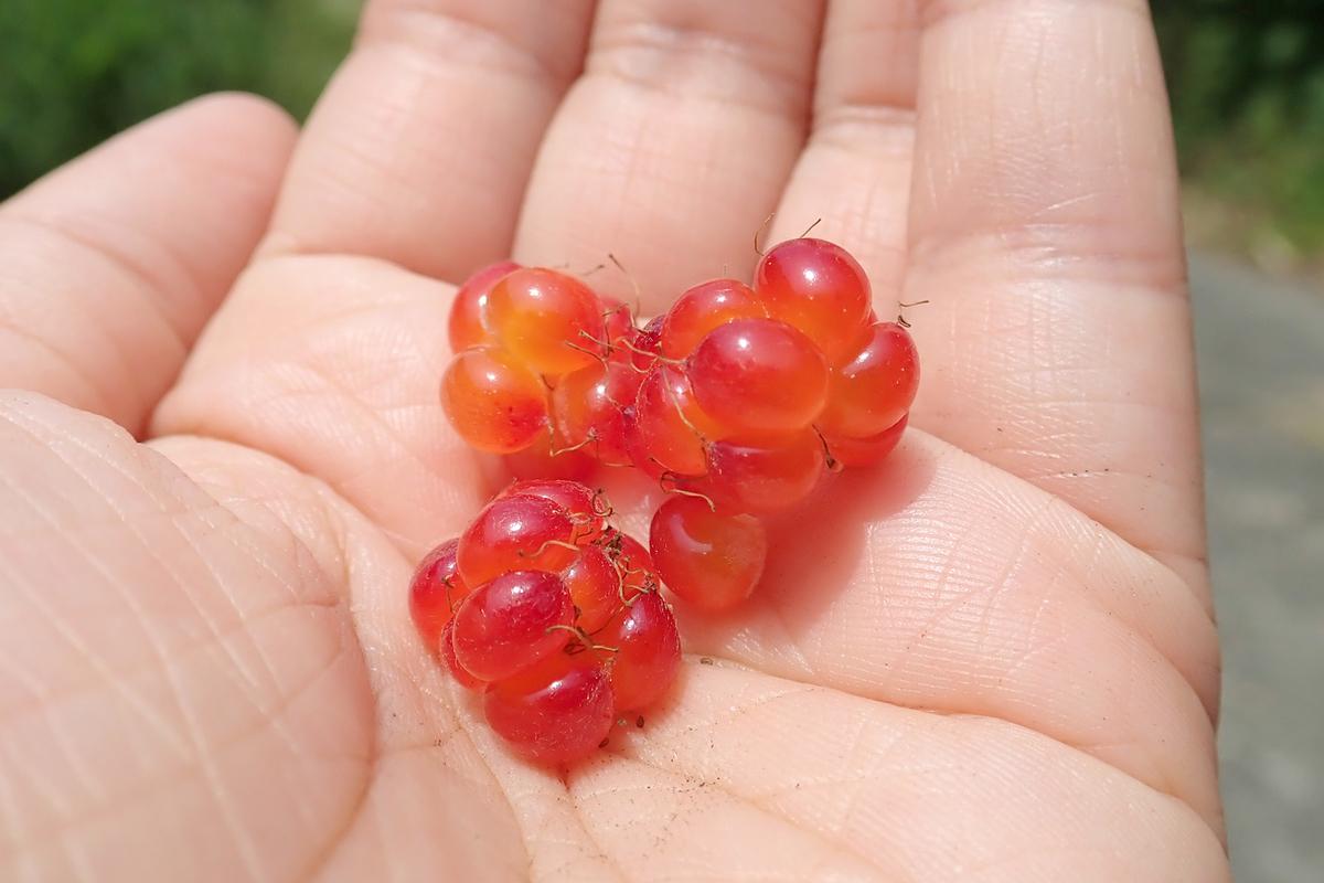 f:id:Rubus_hirsutus:20190623001942j:plain