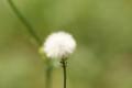 [Flowers]綿毛&アブラムシ達(--;)