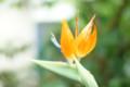 [Flowers]極楽鳥花