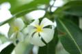 [Flowers]プルメリア