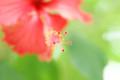 [Flowers]ハイビスカス アップにするとカエルの足っぽいw
