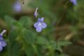 [Flowers]ストレプトカルプス'コンコルド・ブルー'