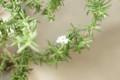 [Flowers]ローズマリーの花