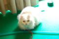 [Cat]ミモザ 東大前 2010/03/23