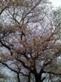 咲いてる桜