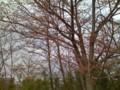 咲いてない桜?
