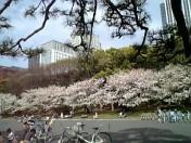 皇居公園の桜