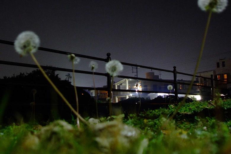 夜のタンポポ
