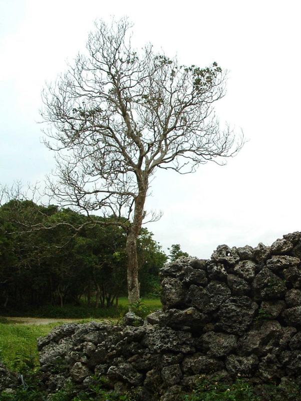 糸数城跡の木