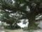 伊舎堂の三本榕