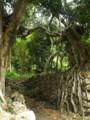 ノロ屋敷跡の石垣と木