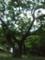 八重瀬公園の木