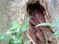 木のうろのミツバチ