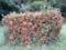 ベニデマリ(旧石川市民の森にて)