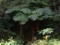 ヒカゲヘゴ(旧石川市民の森にて)