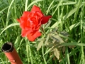 [赤]バラ