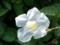白い花の植物